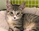 A picture of #ET03041: Chevy a Domestic Short Hair brown tabby