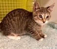[picture of Chancey, a Domestic Short Hair brown tabby cat]