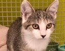 A picture of #ET03043: Charisse a Domestic Short Hair brown tabby/white