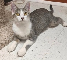 [another picture of Charisse, a Domestic Short Hair brown tabby/white\ cat]