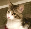 A picture of #ET03044: Elmer Fudd a Maine Coon-x white/brown tabby