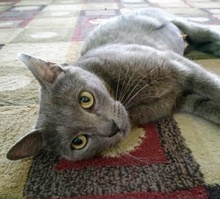 [another picture of Trixie, a Russian Blue Mix blue\ cat]