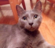 [picture of Trixie, a Russian Blue Mix blue\ cat]
