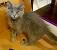 A picture of #ET03050: Graystripe a Ragdoll Mix blue
