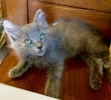 A picture of #ET03051: Fluffkins a Ragdoll Mix blue