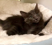 [picture of Leafpool, a Ragdoll Mix blue cat]
