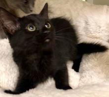 [picture of Midnight, a Ragdoll Mix black\ cat]