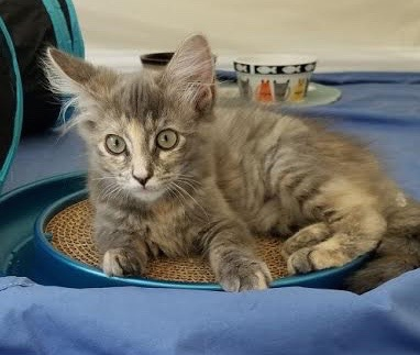 [picture of Peaches, a Ragdoll Mix dilute tortie\ cat]