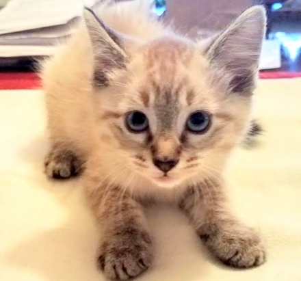 [picture of Aria, a Ragdoll Mix lynx point\ cat]