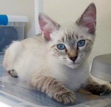 [another picture of Kit, a Ragdoll Mix lynx point\ cat]