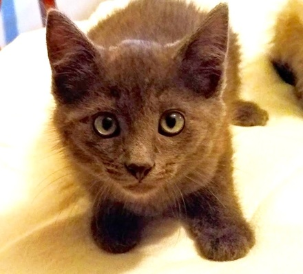 [picture of Little Jake, a Russian Blue Mix blue\ cat]