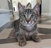 A picture of #ET03058: Jason a Domestic Short Hair gray tabby