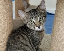 [picture of Jason, a Domestic Medium Hair gray tabby\ cat]
