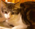A picture of #ET03060: Kenny a Maine Coon-x black marble tabby/white