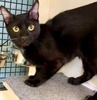 A picture of #ET03062: Frenchy a Domestic Short Hair black