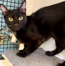 [picture of Frenchy, a Domestic Short Hair black\ cat]