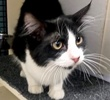 [picture of Chance, a Domestic Long Hair black/white cat]