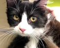 A picture of #ET03064: Cowell a Maine Coon-x black/white