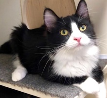 [another picture of Cowell, a Maine Coon-x black/white\ cat]