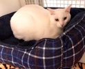 A picture of #ET03066: Mochi a Domestic Short Hair white