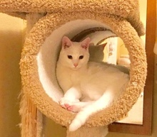[another picture of Mochi, a Domestic Short Hair white\ cat]