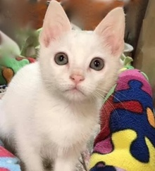 [picture of Mochi, a Domestic Short Hair white cat]