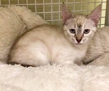 [another picture of Faye, a Siamese Mix lynxpoint\ cat]