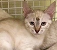 [picture of Faye, a Siamese Mix lynxpoint cat]