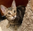 A picture of #ET03069: Francine a Bengal Mix brown marble tabby