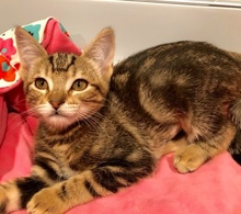 [picture of Francine, a Domestic Short Hair brown marble tabby\ cat]