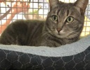 A picture of #ET03070: Grayla a Domestic Short Hair silver