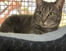 [picture of Grayla, a Domestic Short Hair silver\ cat]