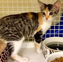 [another picture of Graylin, a Domestic Short Hair calico\ cat]