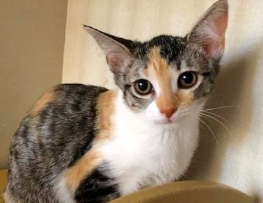 [picture of Graylin, a Domestic Short Hair calico\ cat]