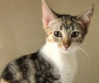 [picture of Evelyn, a Domestic Short Hair calico\ cat]