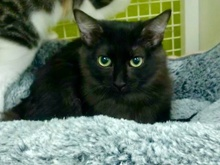 [another picture of Burnadette, a Domestic Medium Hair black\ cat]