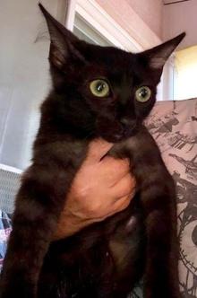 [picture of Burnadette, a Domestic Medium Hair black cat]