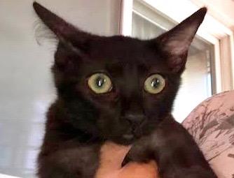 [picture of Burnadette, a Domestic Medium Hair black\ cat]
