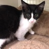 A picture of #ET03075: Wanda a Domestic Long Hair black/white