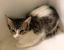 A picture of #ET03076: Loradis a Domestic Medium Hair white/tabby