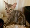 A picture of #ET03077: Basillio a Domestic Medium Hair silver tabby