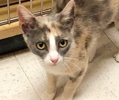 A picture of #ET03079: Wynette a Domestic Short Hair dilute calico