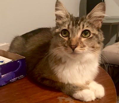 [picture of Mississippi, a Ragdoll Mix brown tick\ cat]