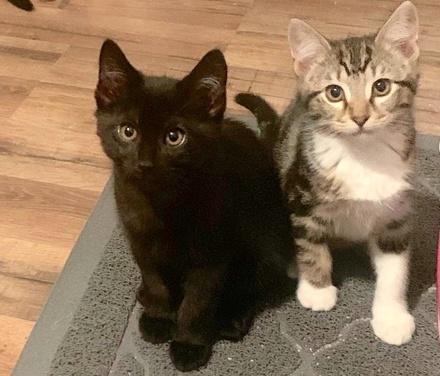 [picture of Minnesota, a Domestic Medium Hair black\ cat]