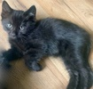 A picture of #ET03082: Penny Pennsylvania a Domestic Medium Hair black