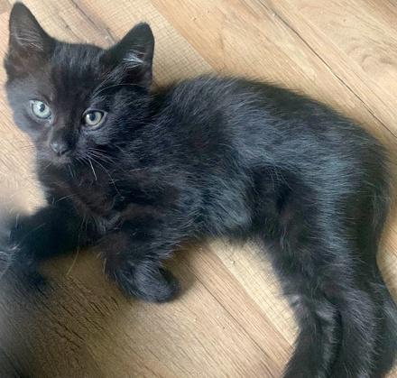 [picture of Penny Pennsylvania, a Domestic Medium Hair black\ cat]