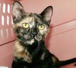 A picture of #ET03083: Nixa a Domestic Short Hair tortie