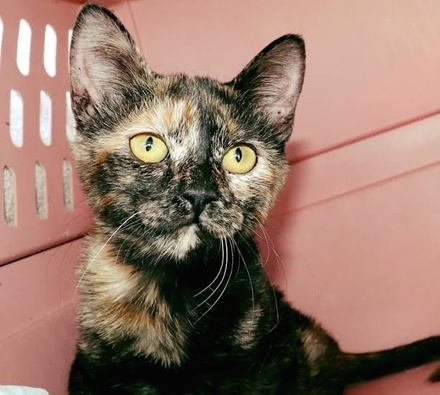 [picture of Nixa, a Domestic Short Hair tortie\ cat]
