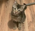 A picture of #ET03084: Tennjesse a Domestic Medium Hair gray tabby