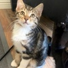 A picture of #ET03085: Georgia Peach a Bengal Mix gray tabby/white